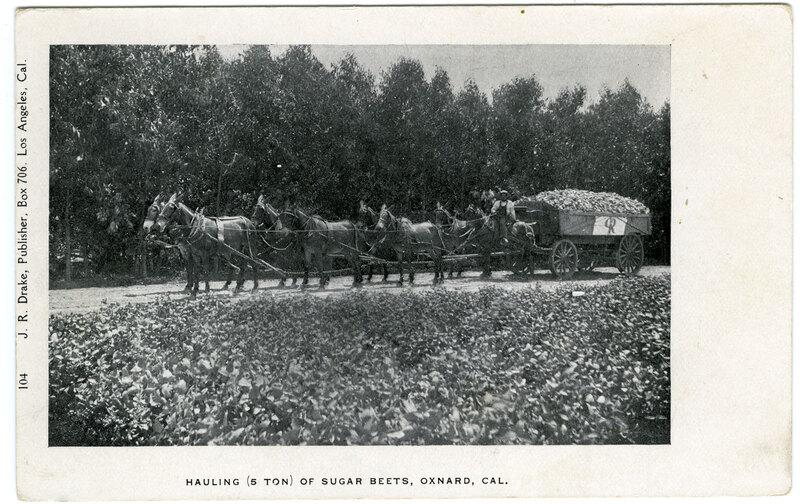 Hauling (5 Ton) of Sugar Beets, Oxnard postcard