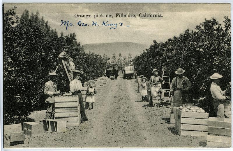 Orange Picking, Fillmore postcard