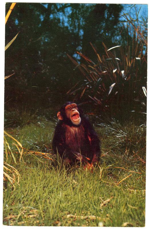 Chimpanzee from Africa, Jungleland postcard