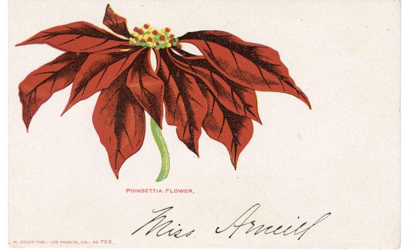 Poinsettia Flower Post Card