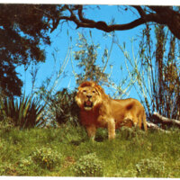 Jackie the Lion at Jungleland postcard