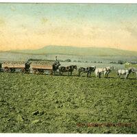 Hauling Beets Near Oxnard postcard