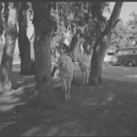 Camarillo White Horses in Tree Grove