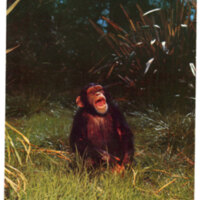 Chimpanzee from Africa, Jungleland postcard