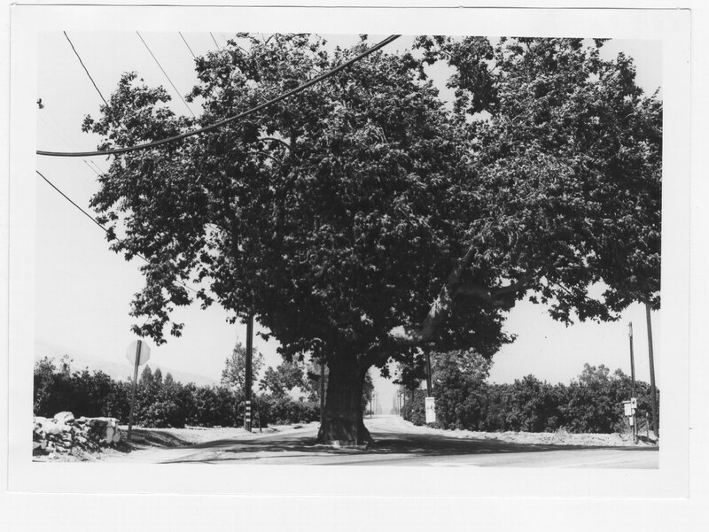 Sycamore Tree West of Fillmore on Telegraph Road