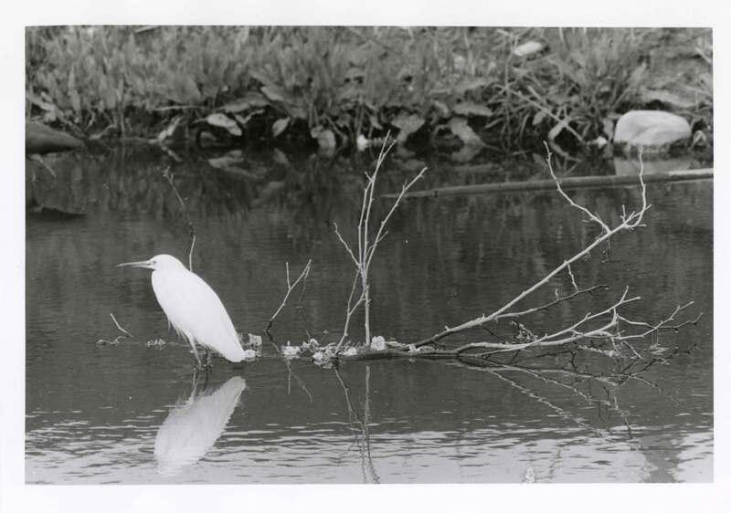 Egret at Walter Moranda Park