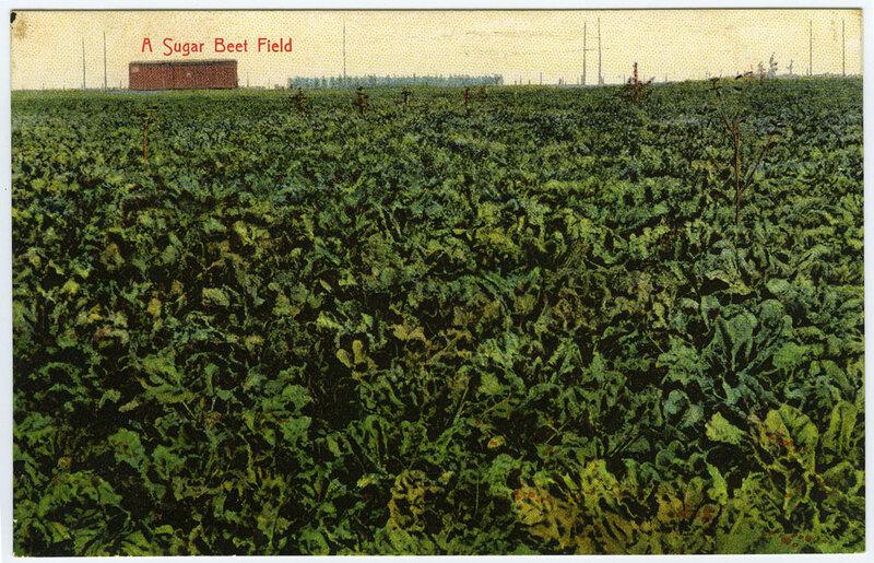 A Sugar Beet Field postcard