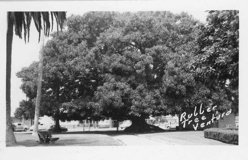 Morton fig tree