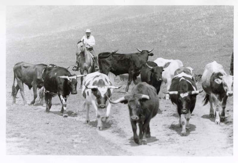 """J. A. """"Toots"""" Jauregui Driving Cattle"""