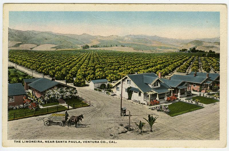 The Limoneira, Near Santa Paula Postcard