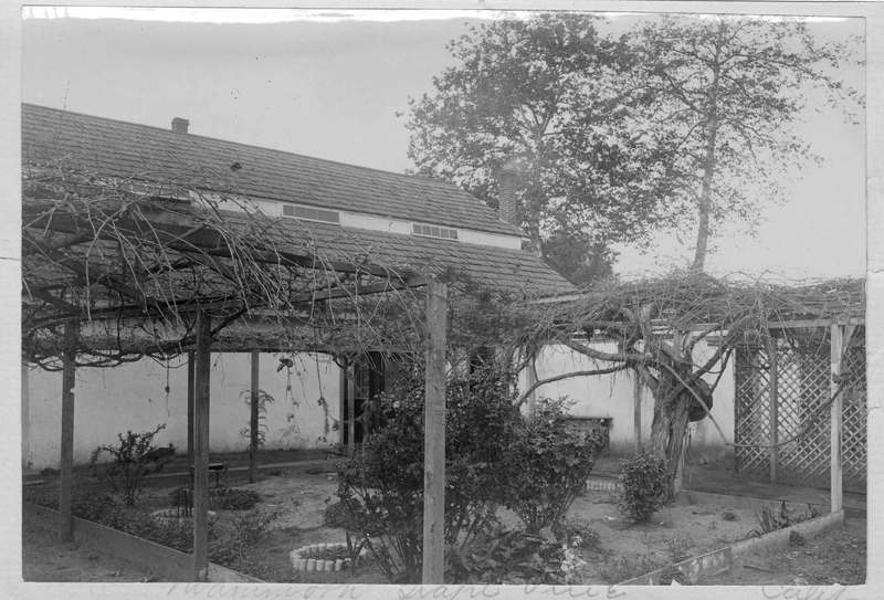 Mammoth grape vine growing on a pergola structure