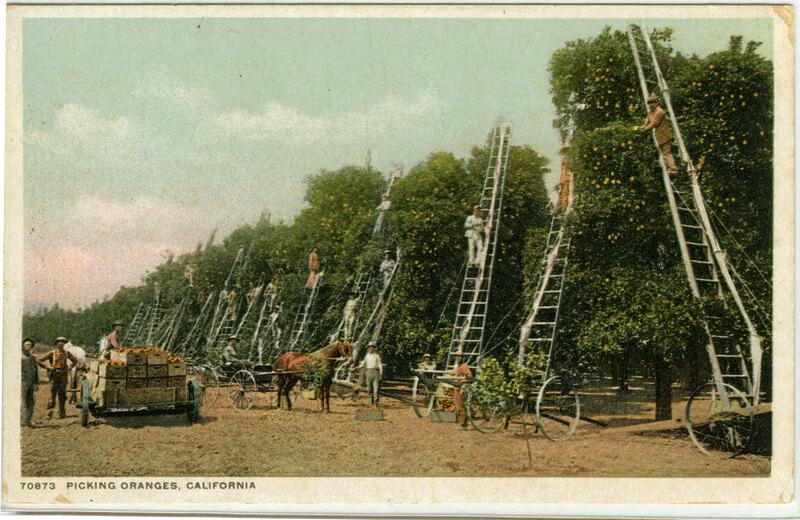Picking Oranges Postcard