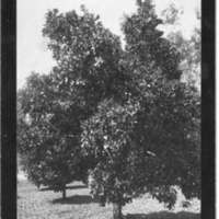 Two trees within an orchard