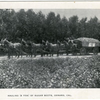 Hauling (5 Ton) of Sugar Beets, Oxnard postcard