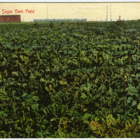 A Sugar Beet Field postcard
