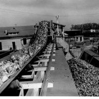 Sugar beets on conveyor belt