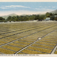 Fifty Tons of Apricots Drying, N.B. Smith Ranch postcard