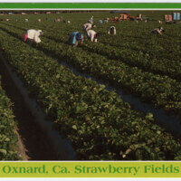 Oxnard, CA Strawberry Fields postcard
