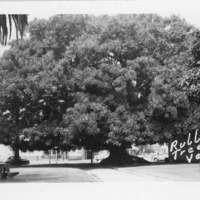 Morton Fig Tree, Plaza Park, Ventura
