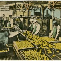 Limoneira Ranch, Washing Lemons postcard