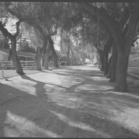 Lane of Trees at Camarillo Ranch