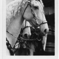 Camarillo White Horse postcard