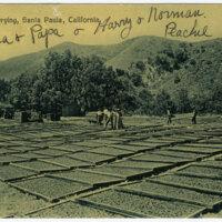 Apricot Drying, Santa Paula, California