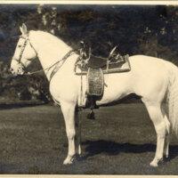 Portrait of a Camarillo White Horse